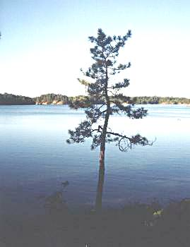 Lonely Pine on Helen Lake